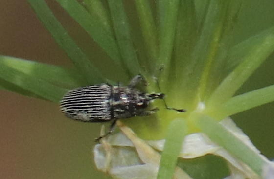 Black and grey weevil
