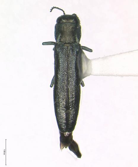 Agrilus transimpressus