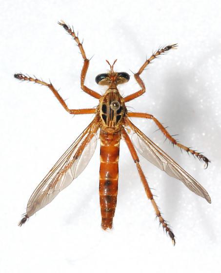 Robber Fly - Diogmites esuriens
