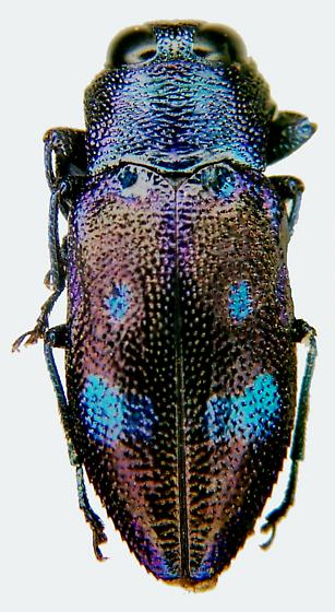 Chrysobothris chlorocephala Gory - Chrysobothris chlorocephala - female