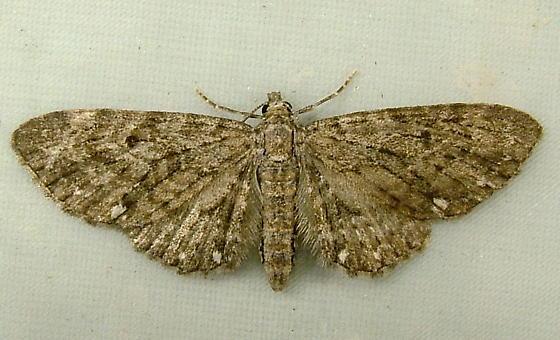1890 Eupithecia tripunctaria - White-spotted Pug 7488 - Eupithecia tripunctaria