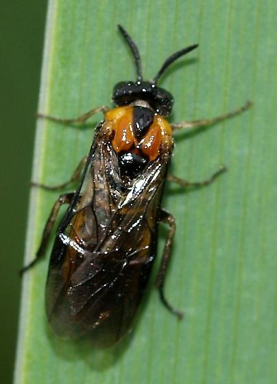 Rustler Park Sawfly?