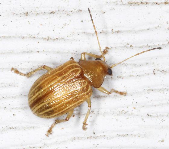 Chrysomelidae - Colaspis? - C. brunnea? - Colaspis