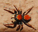 Black and Red Spider - Phidippus whitmani