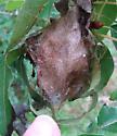 Cecropia moth cocoon - Hyalophora cecropia - Hyalophora cecropia