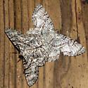 Epimecis hortaria - male - female