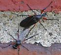 March Fly mating pair - Bibio femoratus - male - female