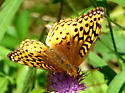 Great Spangled Fritillary? - Speyeria cybele