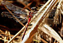 Blue-faced Meadowhawk? - Sympetrum ambiguum - male