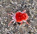 Anza-Borrego Record for Giant Red Velvet Mite - Dinothrombium