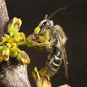 Colletes or Andrenidae? - Colletes inaequalis