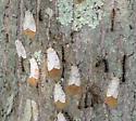 Gypsy Moths - Lymantria dispar - female