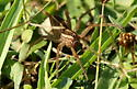 wolf spider - Rabidosa - female