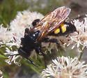 Horse Guard Wasp ??? - Campsomeris quadrimaculata