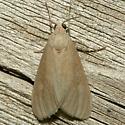 Moth - Euchaetes perlevis