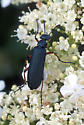 Is this a Blister Beetle species? - Lytta sayi