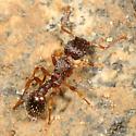 reddish, hairy Tetramorium sp. - Tetramorium immigrans