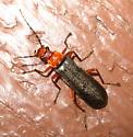 Red and Black Beetle - Podabrus pruinosus