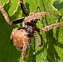 Request for spider ID - Eriophora ravilla