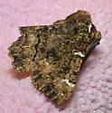 Moth with four white notches - Phaeoura quernaria - male