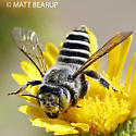 Green Eyed Leafcutter - Megachile - female