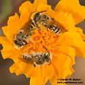 Bees roosting in aster - Hesperapis
