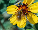 Bee fly (suspect grasshopper bee fly)