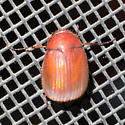 May beetle - Maladera castanea