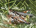 Sagebrush Grasshopper - Melanoplus bowditchi