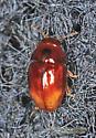 Coleoptera - Stilbus