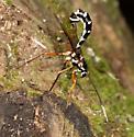 Ichneumon Wasp (Rhyssa sp.) - Rhyssa lineolata - female