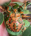 stink bug - Apoecilus