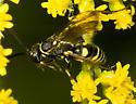 5013729 Wasp - Ceropales maculata