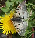 Butterfly for ID - Parnassius smintheus