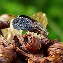 Neat, but no idea - Eutreta angusta
