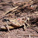 Lubber Grasshopper??? - Brachystola magna - male
