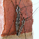 Tipula abdominalis - male - female