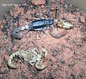 California Common Scorpion - Paruroctonus silvestrii - female