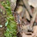 Damsel bug 10.03.21 - Hoplistoscelis