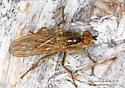Scathophaga ? - Scathophaga stercoraria - female