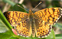 Checkerspot?  - Phyciodes mylitta - male
