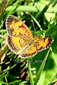 Small Butterfly - Phyciodes cocyta
