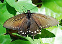Pipevine Swallowtail on its host plant - Battus philenor - female