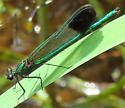 River Jewelwing - Calopteryx aequabilis - male