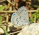 Azure butterfly...is it a Spring or Summer?   - Celastrina ladon