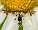 buck's plume moth - Geina