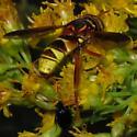 Wasp-hornet Mimic Syrphid with Cosmic Eyes - Spilomyia kahli