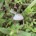 Easter tailed blue butterfly ID? - Cupido comyntas - male - female