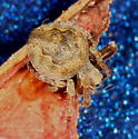spider - Eustala