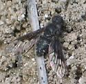 spot-winged black bee fly - Anthrax albofasciatus